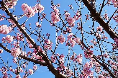 近所の桜(ハルメキという種類です)